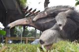 美洲大食蚁兽后代在深圳健康成长