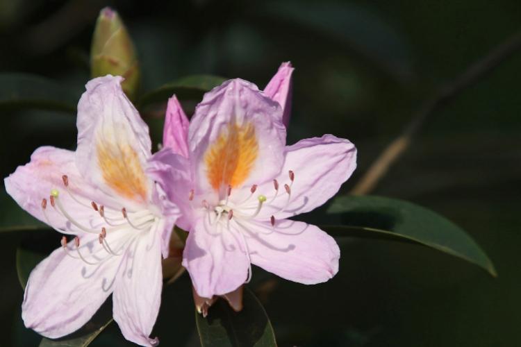 美!深圳这里的杜鹃花开得正旺