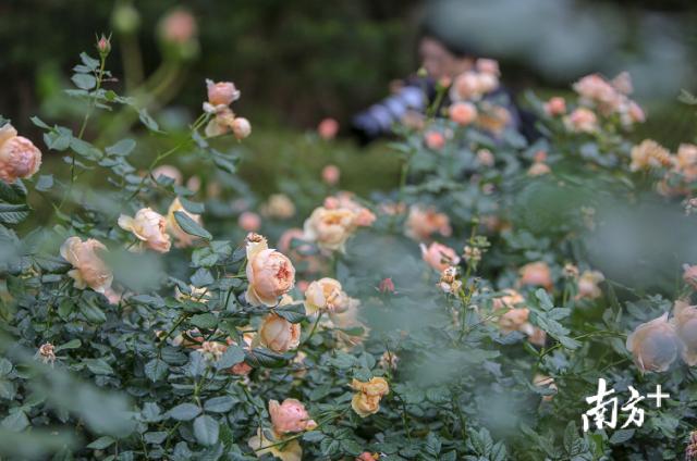 没了花市,留深过年还能去这些地方赏花