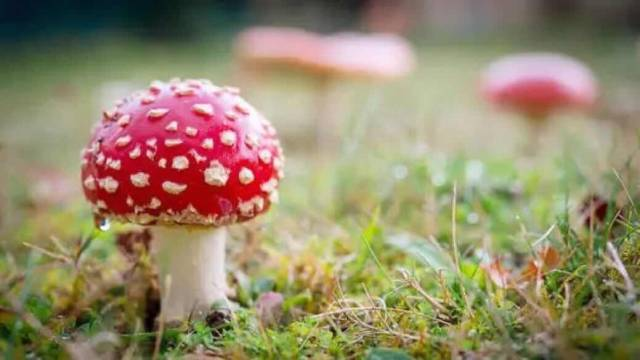 致命毒蘑菇又来了!碰到这些蘑菇千万别吃别采